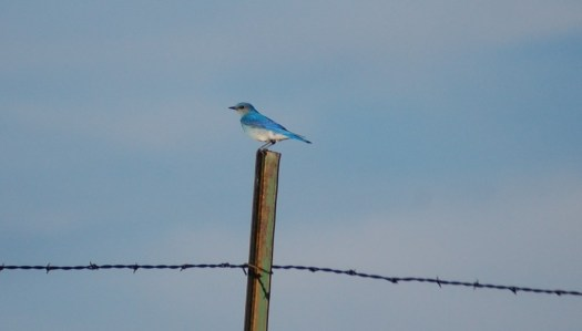 A Mountain Bluebird perched on a fencepost in the Badlands