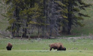 Buffalo in Yellowstone Park