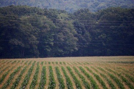 Rows of corn in Western Pennsylvania as seen off of I-79