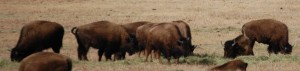 Buffalo in southern Montana