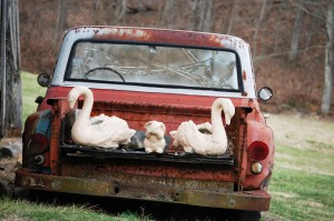 Old pickup with swans in Disputanta, Kentucky