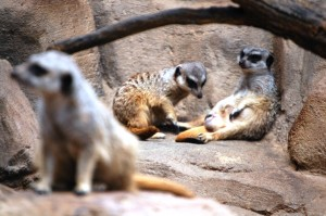 Lounging Meerkats at Henry Doorly Zoo