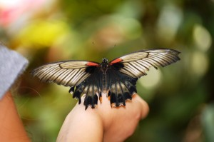 Great Mormon Butterfly (Papilio memnon) from Southeast Asia
