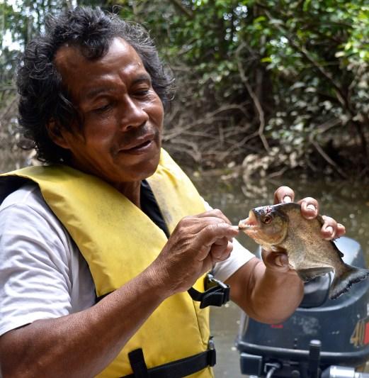 piranha, caught in the River Essequibo