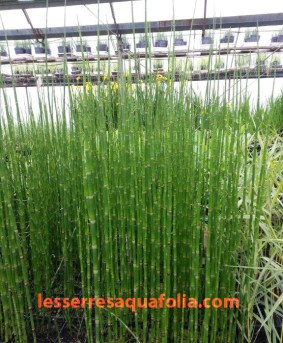 L'Equisetum hyemale ou americanum fera un bel ajout dans vos arrangements.