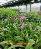 Blettila striata ou orchidée jacinthe en fleurs au mois de mai