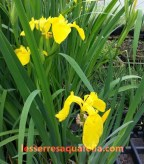 Plusieurs variétés d'Iris
