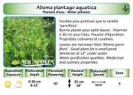 ALISMA PLANTAGO AQUATICA_5X7