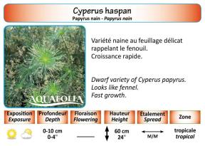 CYPERUS HASPAN_5X7