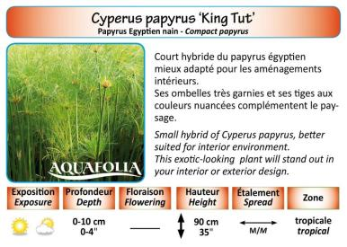CYPERUS PAPYRUS KING TUT_5X7