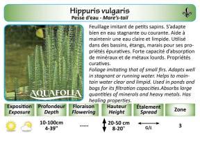 HIPPURIS VULGARIS_5X7