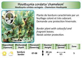 HOUTTUNIA CORDATA_5X7