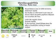 MARSILEA QUADRIFOLIA_5X7