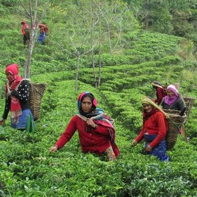 紅茶教室 リトルポット ネパール