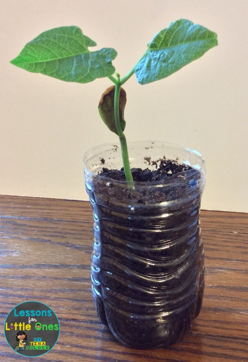 bean plant science experiment