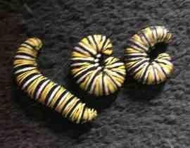 how to raise a caterpillar