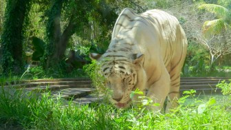 White tiger - through the glass viewing area