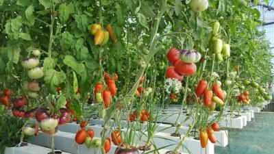 tomates espèces hydroponie