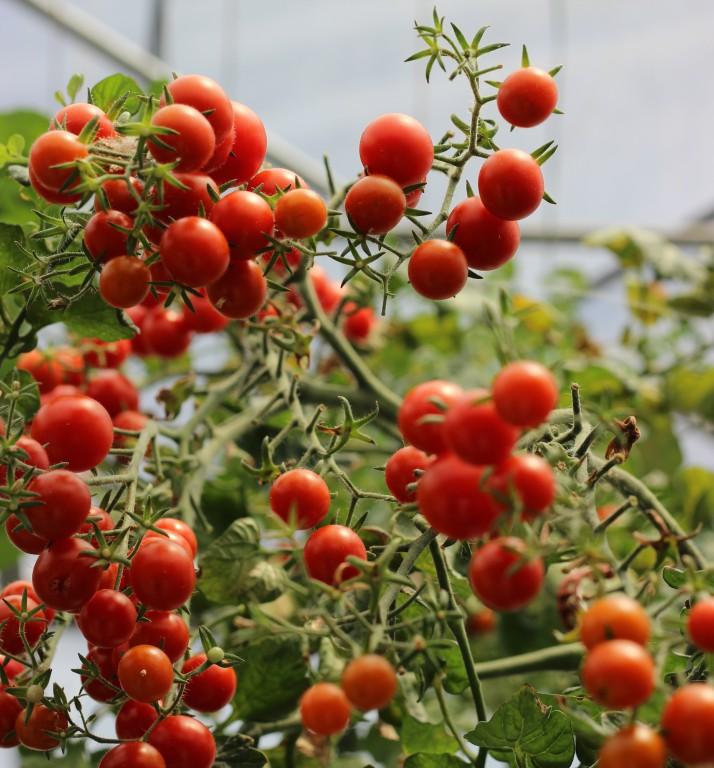 tomates cerises grappes hydroponie