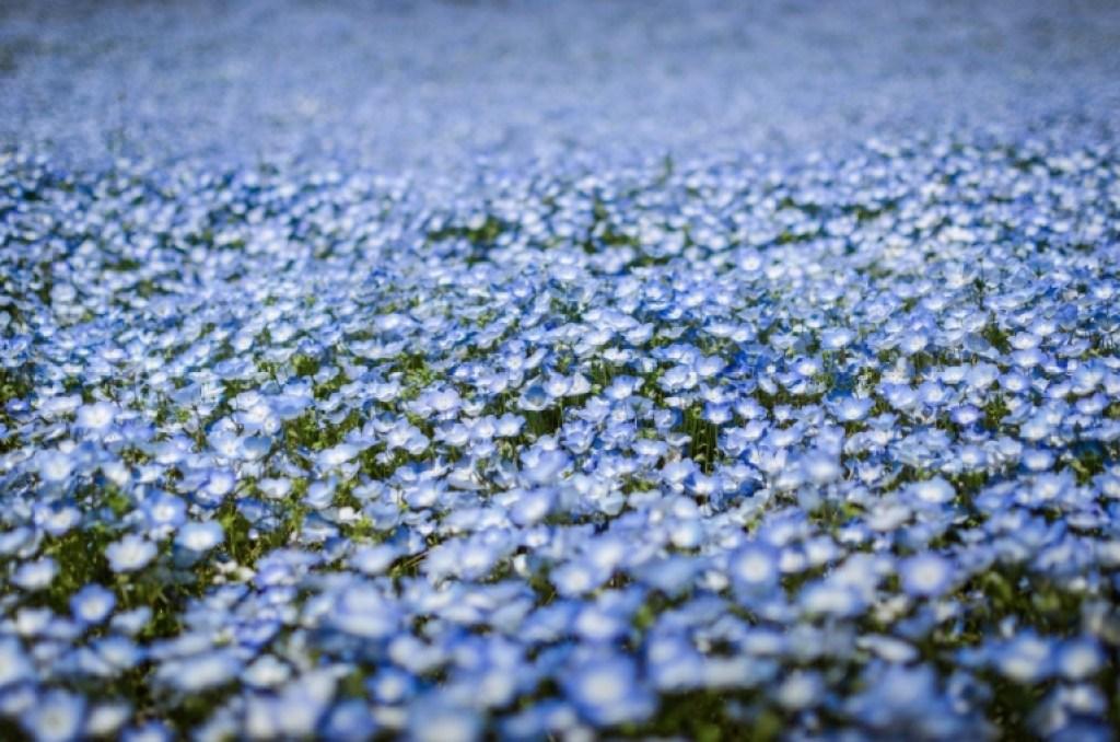 Nemophilia flowers