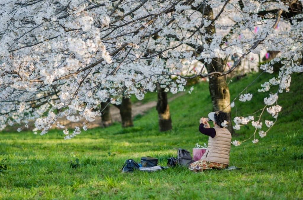 Woman taking picture of cherry blossoms