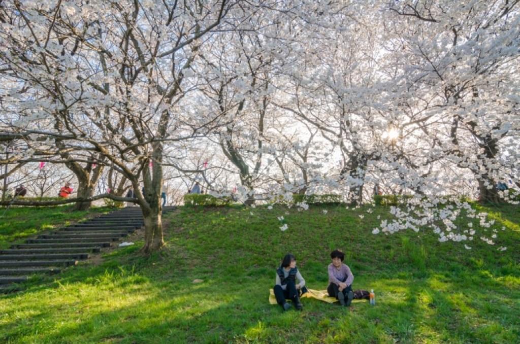 Ladies sitting beneath sakura