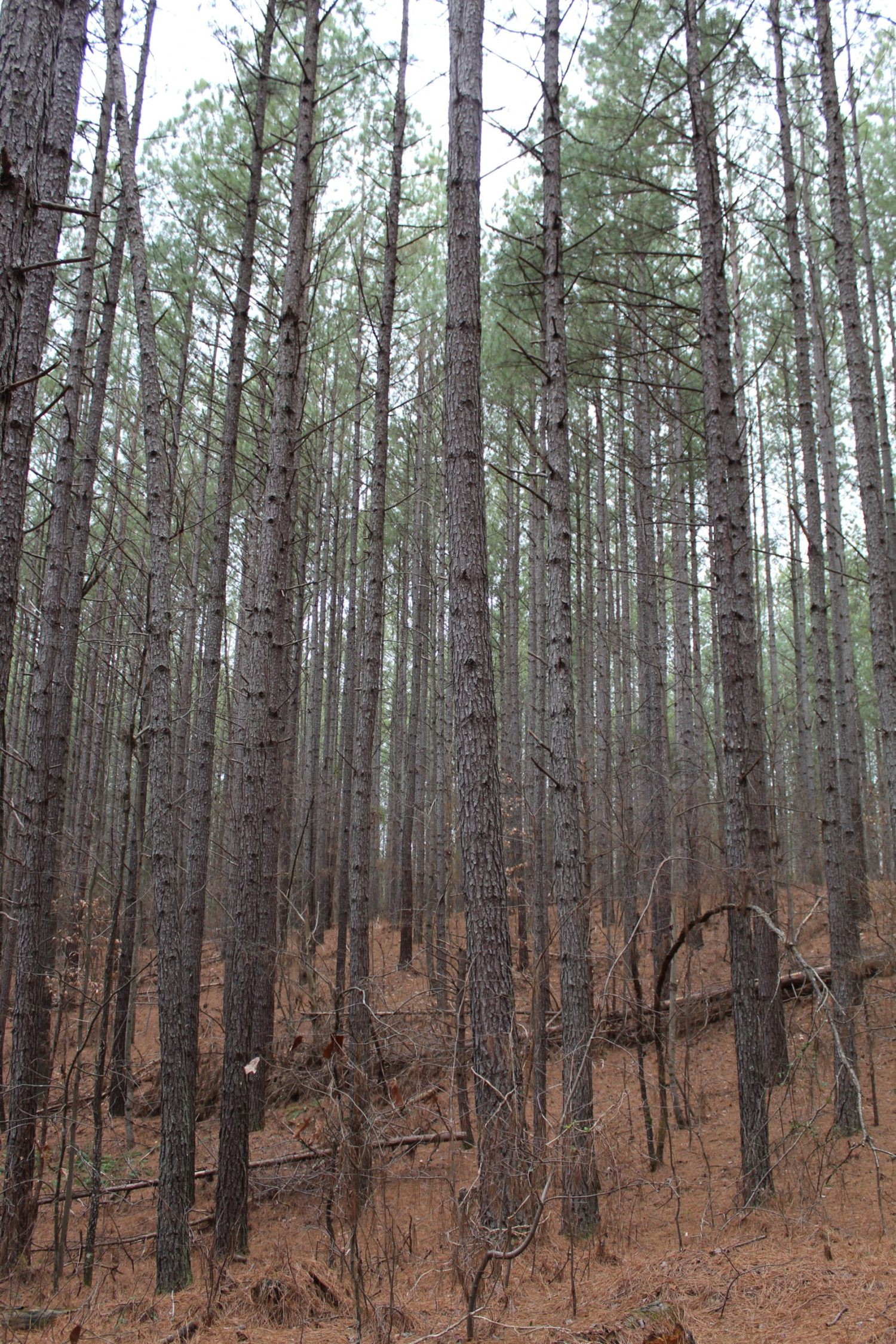 Bare trees in forrest