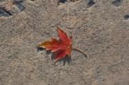 maple-leaf1