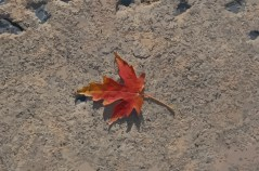 maple-leaf1