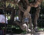 Visitors Center Tree