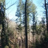 Combe 1 (C1) Douglas de 62.5 m (point 2 sur le plan)