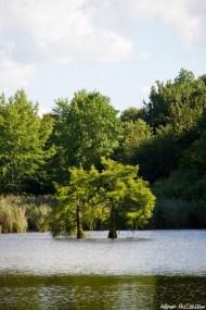 Cyprès chauves, étang de Boulieu, Saint Baudille Isère, Agnès Guillaume (7)