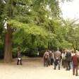 Ginkgo biloba mâle et femelle à la fois planté en 1844 Jardin des plantes de Paris (2)