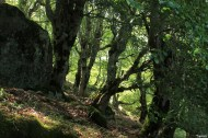 Hêtre de Tatarella, Venaco, Haute Corse, Yannick Morhan (11)