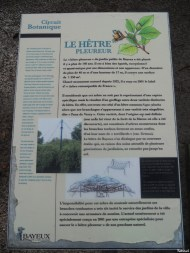 Hêtre pleurueur de Bayeaux, Calvados, Renaus Galaesen (1)