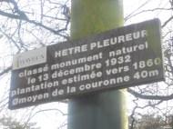 Hêtre pleurueur de Bayeaux, Calvados, Renaus Galaesen (2)