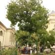 Sophora planté en 1747 Jardin des plantes de Paris (10)