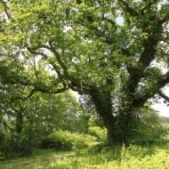 gros chêne de coet an bars, Mellionnec, Côtes d'Armor, Yannick Morhan (18)