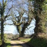 gros chêne de coet an bars, Mellionnec, Côtes d'Armor, Yannick Morhan (4)