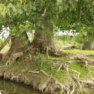 peupliers noirs, Bras-sur-Meuse, Meuse, Yannick Morhan (10)