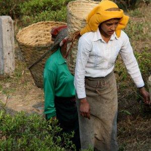 Thés équitables et solidaires d'Inde