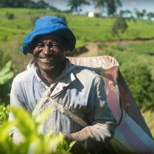 Thés du Malawi