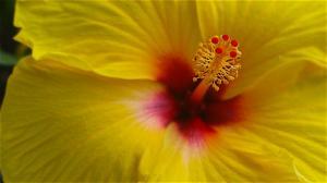 Ibisco giallo
