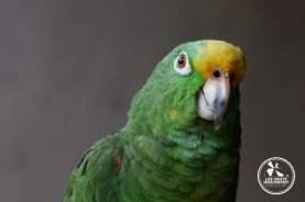 Perroquet vert à Cartagena en Colombie