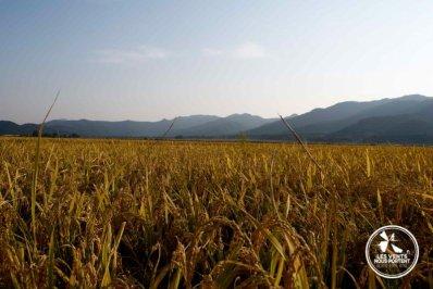 Rizières Gyeongju Coree-du-sud