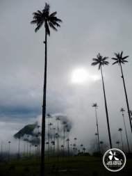 Palmier Vallée del Cocora Salento Colombie