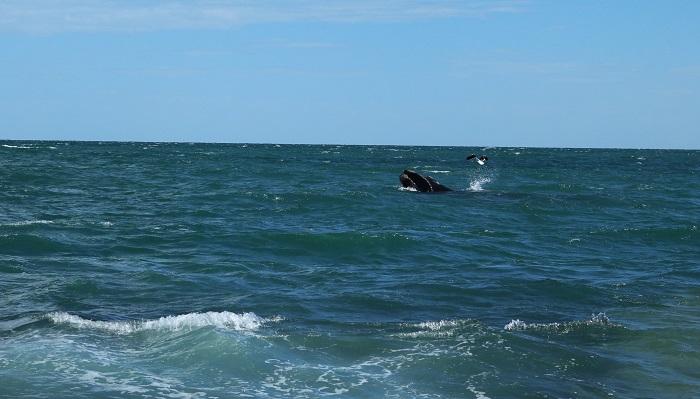 il y a toujours une mouette pour venir tâter de la baleine