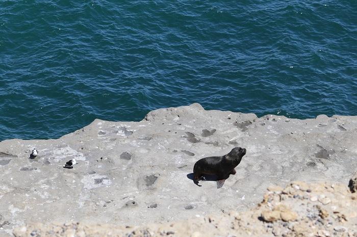 Monsieur le lion de mer s'isole au calme...