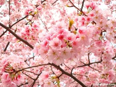 ueno-sakura