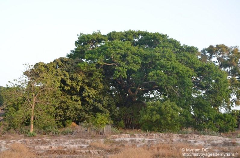 L'un des plus gros arbres de Kabrousse: un fromager